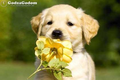 Желтая Собака - символ 2018 года