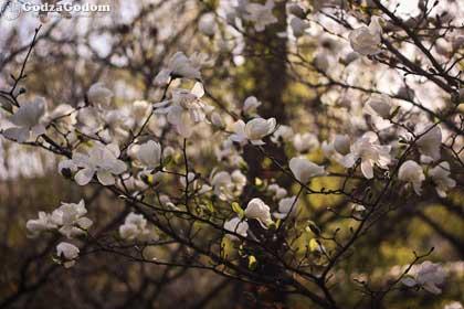 Цветение деревьев весной 2017 г.