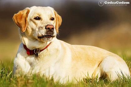 Желтая земляная Собака