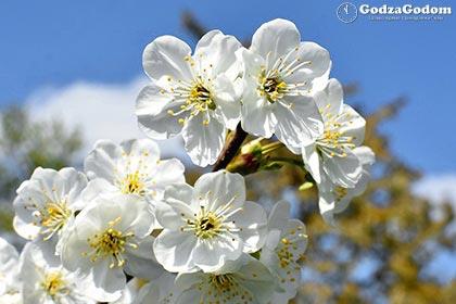 Красивое цветение вишни весной
